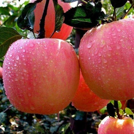 Apple Fruit Apple Fruit